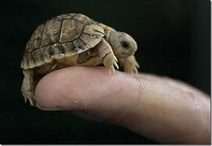 This turtle is not even the size of your finger! It's so small and cute! Oh, how I love my turtles!