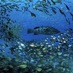Photo by @thomaspeschak A large potato grouper hunts amongst schools of baitfish that seasonally drape southern Mozambique's reefs. In the Ponta do Ouro Marine Reserve bottom fishing is prohibited and the marine food web is relatively intact. Shot on assignment for @natgeo. Unpublished image from Dec 2014 story Cross Currents. #mozambique #marinereserves @thephotosociety @natgeocreative