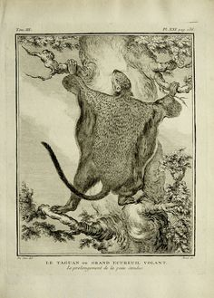 1771 Antique print of a FLYING SQUIRREL. by AntiquePrintsOnly
