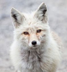 This is a red fox going through a light morph at Mt. This little guy was giving me some puppy dog eyes near Paradise. Nature Animals, Animals And Pets, Baby Animals, Cute Animals, Draw Animals, Beautiful Creatures, Animals Beautiful, Malamute, Fantastic Fox