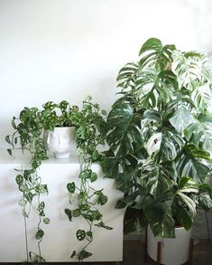 Its both mine & my S.Os (or fiancé now I guess.) birthday on this and Im ready for my surprise variegated monstera Beautiful pair of monsteras pictured here from Indoor Planters, Outdoor Plants, Rogers Gardens, Gardening Magazines, Plants Are Friends, Plant Aesthetic, Plant Illustration, Tropical Plants, Hanging Plants
