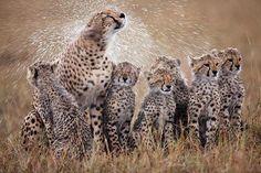 Female cheetah shakes off rain water