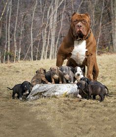 Dog is an internet star: this is called puppy protection-Hund ist Internetstar: Das nennt man Welpenschutz PITBULL HULK SHOWS HIS BABIES This is called puppy protection - Baby Animals, Funny Animals, Cute Animals, Huge Dogs, I Love Dogs, Hulk The Pitbull, Hulk The Dog, Large Dog Breeds, Pitbull Terrier