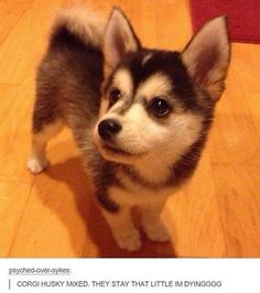 Corgi husky mix—not sure if this is true & this little nugget isn't a Pomsky or an Alaskan klee kai puppy or something else adorable. but whatever kind of smoosh this is, it is one of the most freakin adorable things I've ever seen! Corgi Husky Puppies, Siberian Husky Puppies, Pomeranian Puppy, Cute Puppies, Cute Dogs, Siberian Huskies, Pomsky, Corgi Mix Breeds, Love My Dog
