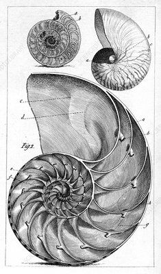 Engraving of a nautilus and an ammonite. The nautilus is one of the species of marine cephalopods of the family Canvas Print Framed, Poster, Canvas Prints, Puzzles, Photo Gifts and Wall Art Fine Art Prints, Framed Prints, Poster Prints, Canvas Prints, Geometry Art, Sacred Geometry, Geometry Tattoo, Nautilus Tattoo, Instalation Art