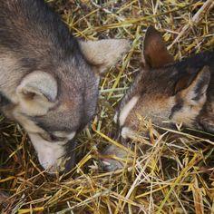 "See 1 tip from 5 visitors to Loihakka Husky Farm. ""Winterfun with huskies! Four Square, Husky, Fox, Animals, Animales, Animaux, Animal, Animais, Husky Dog"