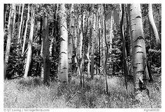 Aspen trees in summer near Medora Pass. Great Sand Dunes National Park (black and white)