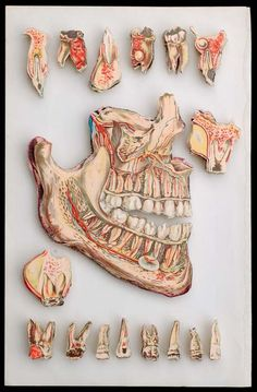 This is really what we study in school and a cross section of everyone's mouth and teeth.
