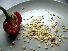 Saving pepper seeds is very easy!...