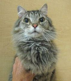 Meet Mike a Petfinder adoptable Domestic Long Hair Cat | Asheville, NC | I�m a sweet kitty searching for my forever home. I�m available for adoption at PetSmart, 150...