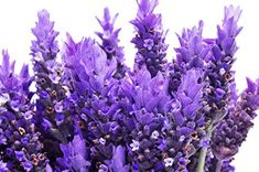 The Total Guide To Growing, Harvesting & Using Lavender Lavender Uses, Growing Lavender, French Lavender, Garden Yard Ideas, Garden Paths, Lavandula Angustifolia, Garden Inspiration, Container Gardening, House Plants