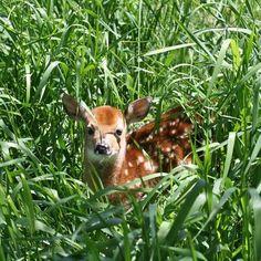 Baby deer :)