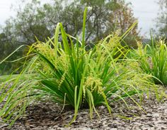 248 best landscape gardening plants images on pinterest native detailed description of the lomandra lomandra hystrix tropic cascade cultivarvariety altavistaventures Images