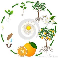 Life cycle of a lemon tree on a white background, beautiful illustration. Life cycle of a lemon tree