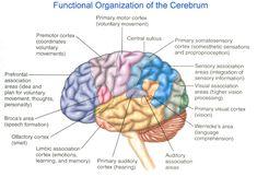 Broca's Area | broca area 300x207 larea del cervello in cui vengono elaborati ...