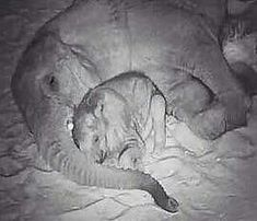 I can not handle Such sweetness and tenderness in my heart..!! That beautiful moment. .Credit : @dallaszoo -  PEACEFUL SLEEP: He may be growing fast but hes still Moms little boy. #Ajabus favorite place to sleep is curled up between Mlilos trunk and her legs. (And every time we see him that way we fall just a bit more in love with both of them.) We grabbed this shot with a night-vision camera so we didnt disturb them . . #elephant #elephants #elephantlove