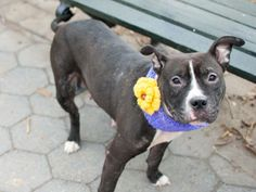 SAFE --- TO BE DESTROYED - 03/21/14  Manhattan Center -P   My name is JAGARA. My Animal ID # is A0993864.  I am a female black and white pit bull mix. The shelter thinks I am about 1 YEAR    I came in the shelter as a STRAY on 03/13/2014 from NY 10460, owner surrender reason stated was STRAY  https://www.facebook.com/photo.php?fbid=774609982551883&set=a.617938651552351.1073741868.152876678058553&type=3&permPage=1