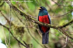 This snazzy looking bird is the Choco Trogon, also known as White-eyed Trogon or Blue-tailed Trogon (depending on which avian naming authority one happens to be using), and no doubt couldn't care either way for whatever we humans call it. Found in humid, lowland forest in north-western Ecuador and western Colombia, it was at Un poco del Chocó, a Biological Research Station in Ecuador, that Jonathan Rossouw captured this image.