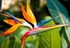 The energetic & bold natural form of the  Bird of Paradise flower