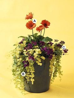 I love  gerbera daisy-here is a container garden idea with gerber daisy, verbena, creeping jenny vine by colette