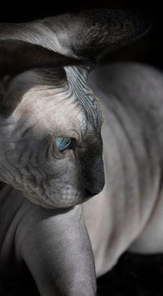 Elle explore la beauté étrange et fascinante des chats sans poils (Photos)