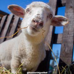 La corderita Clara ya no tiene motivos para estar triste. Los cuidados el amor y el respeto que le han entregado sus cuidadores han hecho que se convierta en una niña maravillosa y segura.   #santuarioanimal #animalsanctuary #sheep #lamb #animalfriends #animallovers  #animals #animalrights #animalliberation #veganofig #vegan #govegan #friends #love #cute #happyanimals #happiness #friendsnotfood #toocute #safe #pets #instachile #petsgram #happy  #pretty #beautiful #nature #naturaleza…