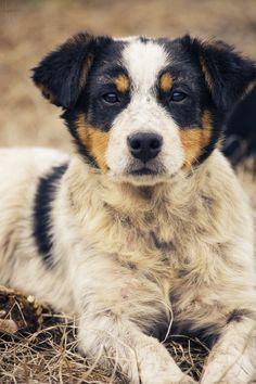 Australian Shepherd Blue Heeler, Australian Cattle Dog, Australian Shepherds, Blue Merle, Pitbull, I Love Dogs, Cute Dogs, Shepherd Puppies, Dogs Of The World
