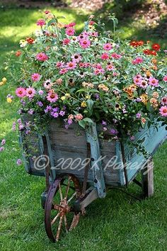 zinnias in an old wheelbarrow