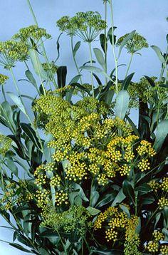RHS Plant Selector Bupleurum fruticosum / RHS Gardening