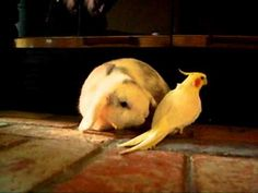Cockatiel sings to Bunny.  Star Wars, Jeopardy....this bird is good.  Not sue the bunny cared for it though :)