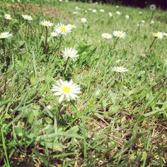 #flowers#daisys#grass#randomphotography#summer#sunny#days