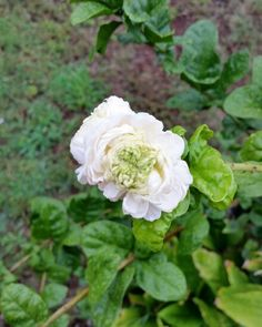 Double Pikake Flower