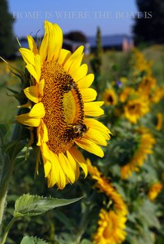 Sunflowers and Bees   homeiswheretheboatis.net