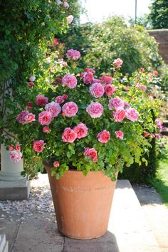 Add classic color to your patio with these compact roses, perfect for pots.
