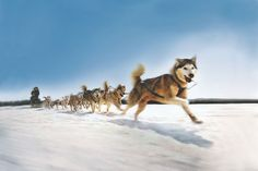 Dog sledding on Pinterest | Sled Dogs, Sled and Husky