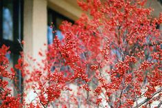 Click To View Full Size Photo Of Coral Beauty Cotoneaster