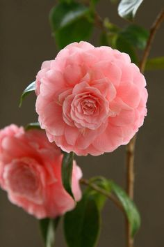 Camellia japonica 'Happy Holidays'