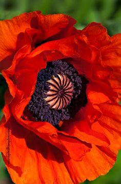 ~~Red Oriental Poppy by Viktoria Mullin~~
