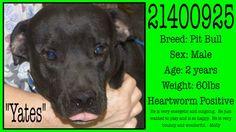 **Fort Worth, TX**CURRENT STATUS: Must be tagged for adoption or rescue by 9am on 11/09/13**  Reason for URGENT STATUS: Heartworm POSITIVE  Animal ID: 21400925 Name: Yates Breed: Pit Bull Sex: Male Age: 2 years Weight: 60lbs https://www.facebook.com/photo.php?fbid=569013533170745&set=a.568526346552797.1073742131.137921312946638&type=3&theater
