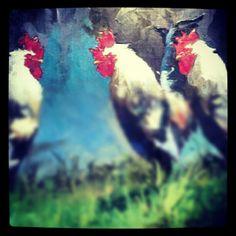 3 Cocks
