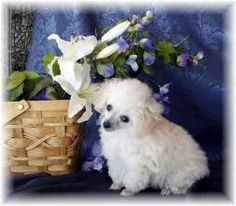 Teacup Poodle Teacup Poodles, Teacup Pigs, Teacup Puppies, Lap Dogs, Dogs And Puppies, I Love Dogs, Cute Dogs, Piebald Dachshund, Funny Animals