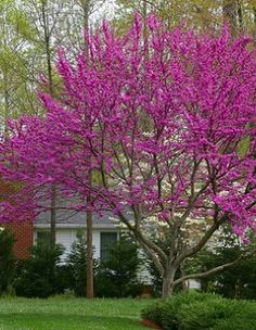 The Oklahoma Redbud is my most favorite blooming tree ~ it is one of the first to bloom each year.