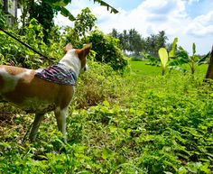 Can you already see the weekend? This cute girl is Marni, rescued by wearing our Melati Bandana and our Samudra Collar. Dog Beach, Dog Bandana, Bandanas, Dog Accessories, Marni, Cute Girls, Pup, Island, Dogs