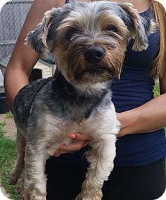 Freeport, NY - Yorkie, Yorkshire Terrier/Schnauzer (Miniature) Mix. Meet Chewy, a dog for adoption. http://www.adoptapet.com/pet/11484803-freeport-new-york-yorkie-yorkshire-terrier-mix