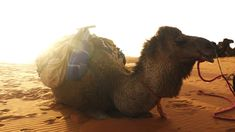 Sahara Desert in Morocco. Get to see these camels closer on this site!