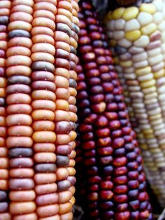 Sabores Mexico_tastu.es Growing Vegetables, Fruits And Vegetables, Rainbow Corn, Popcorn Seeds, Weird Fruit, Colorful Fruit, Exotic Fruit, Mexican Corn, Sweet Corn