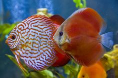 Mosaic Turquoise and Red Cover Discus