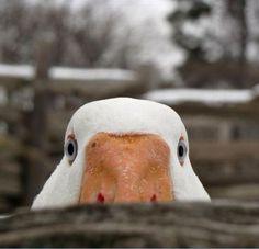 duck? duck? goose! That looks like my Emmy or Weegee or Scweegee goose, they are BIG German geese, my favorite !