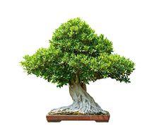 bonsai tree lsolated on white background stock photo
