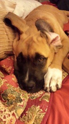 Ellie 15 weeks <3 St Bernard/English mastiff mix